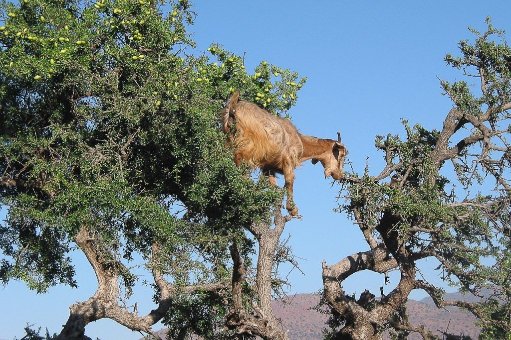 Argan Oil Goats